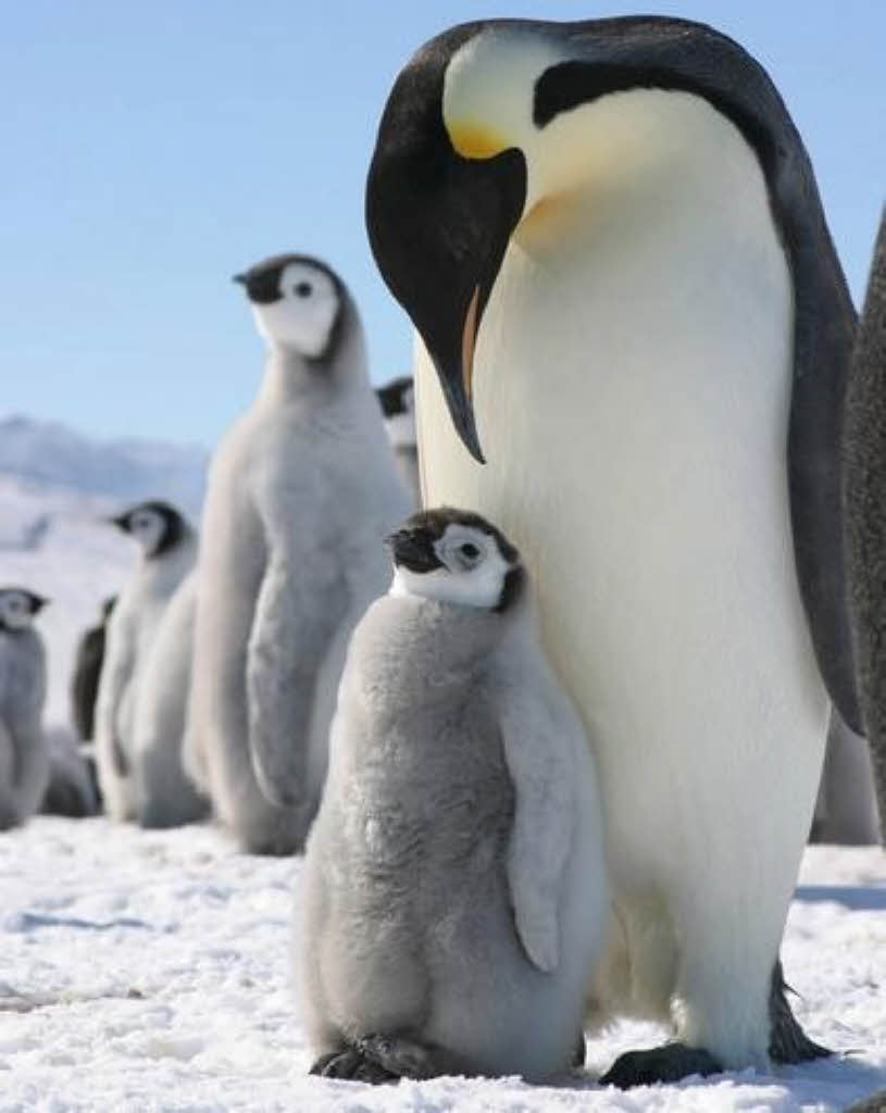 Real penguins pictures