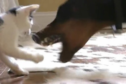 Video: Kätzchen vs. Dobermann
