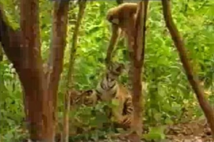 Video: Affe verscheucht kleine Tiger